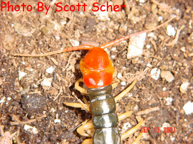 Scolopendra subspinipes mutilans - Chinese redhead centipede